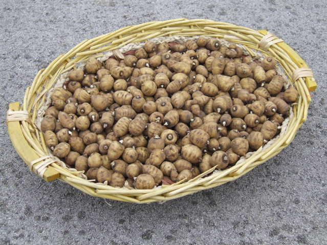 Cerfeuils tubéreux EARL Pingon Horticulture